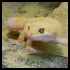 yvi: my yellow leopard gecko, River (Geckos - River 1)