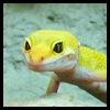 yvi: my yellow leopard gecko, River (Geckos - River 2)