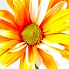 zing_och: photo of an orange daisy (spring!)