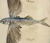 nightdog_barks: (Flying Fish)