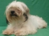 sraun: AHS Picture of Paris (Shih Tzu Paris)