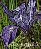 syllamon25: s25 orchid (pic#620196)