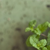sarken: leaves of mint against a worn wall (Default)