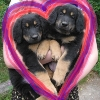 neqs: Two puppies inside a heart. (puppies)