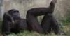 davidfcooper: (chimpanzee, ape, primate)