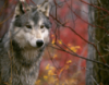 wolfkin: (Autumn Wolf)
