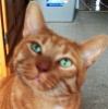 catsneezes: A ginger cat with jade green eyes staring up at something out of frame with his head titled slightly to the right (pic#6217772)