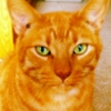 catsneezes: A ginger cat with bright green eyes is sitting and staring directly at the camera ()