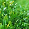 tea_flavored_dreams: tea leaves (pic#622700)
