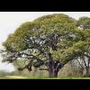 robin_arede: Live oak tree. (Live Oak)