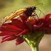 kansassky: (red monarch)