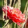kansassky: (pink rose hdr)