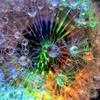 elrhiarhodan: (Flower - Rainbow Dandilion)