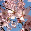 robin_arede: Pink blossoms on tree (cherry/) (Spring blossoms)