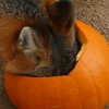 pumpkinfox: (Default)