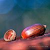 draconis: (acorn)