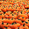sporky_rat: A field of orange pumpkins. (autumn)