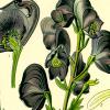 remus_lupin: (Aconitum lyoctonum)