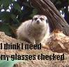 "freyakitten: A meercat, peering at the camera. Caption reads ""I think I need my glasses checked"" (Can't see!)"