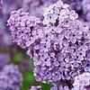 thebratqueen: Lilacs (Seasonal-Spring)