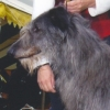 scottishdeerhounds: (Tucker)