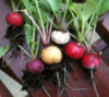 greenfingers: rainbow radishes (Default)