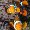 samvara: Photo of two clown fish floating over an anenome (Sport - Nemo)
