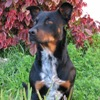 samvara: Photo of a medium sized black and tan doog looking thoughtful (Kenobi - Noble woofer)