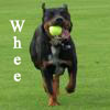 samvara: Photo of a medium sized dog running with a tennis ball in his mouth (Kenobi - Whee)