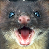 jesse_the_k: Close up of clean young weasel's open mouth and teeth (screaming brain weasel)