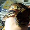 roeskva: (ball python)