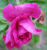 papertole: photo taken in 2010 with new Canon (antique rose)