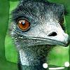 infiniteviking: A bemused emu. (9)