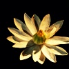 signifier: a white flower (Ethala: Gazan (Dawn's Rose))