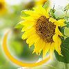 takemybreathjax: (sunflower smile)