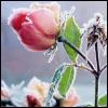 izzybee: (rose)