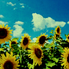star_swan: (Sunflowers)