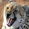 angrboda: Head of a cheetah, growling or hissing. (Angry)