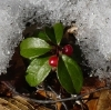 liana: Teaberry plant in snow (Default)