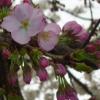 maco: pink sakura (Default)