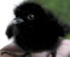 killing_rose: Baby corvid, looking incredibly fluffy and adorable (fluffy raven)