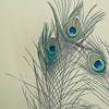 alostcorner: peacock feathers (Default)