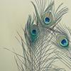 alostcorner: peacock feathers (Default)