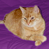 acelightning: big orange cat in relaxed pose (Loki-1)