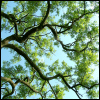 forthwritten: looking up through a tree's branches and leaves against a blue sky (the trees they grow high)