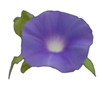 branchandroot: purple morning glory (morning glory)