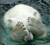 unixronin: Polar bear covering its eyes (Can't Bear It)