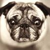 derek_hale: (misc; pug)