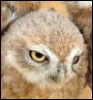 firecat: photo of owl looking grumpy (grumpy owl)