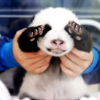 vive: (this calls for a baby panda)